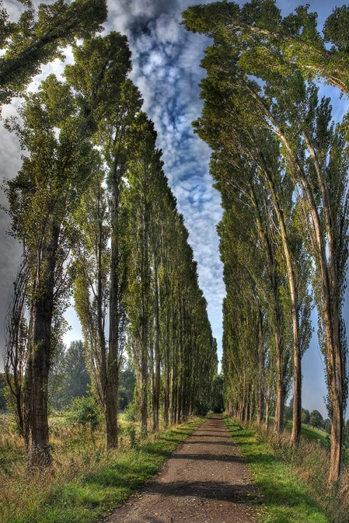 Avenue Of Poplar Trees